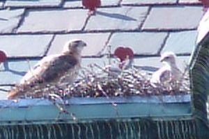 Red-tailed hawks, mother and nestling (photo by Kate St. John)