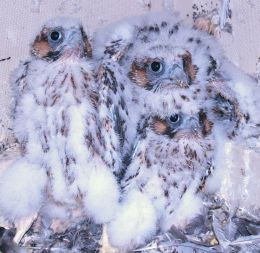 Three peregrine chicks, University of Pittsburgh, May 27, 2008 (photo by Doug Dunkerley)
