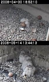 Peregrine falcons chicks at hatching and at 3 weeks old, University of Pittsburgh, 2008