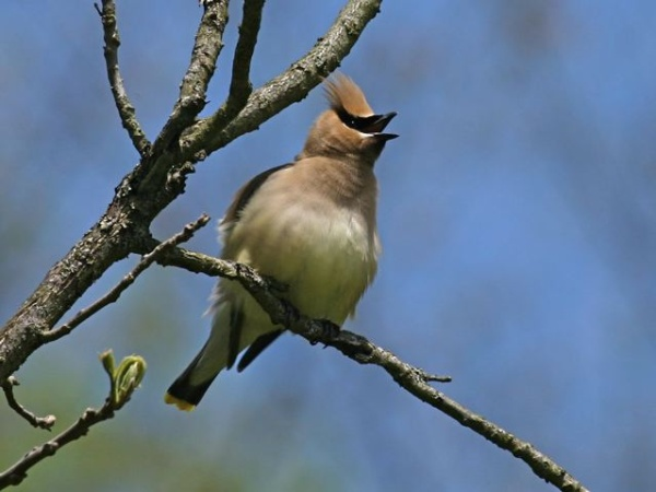 Cedar Waxwing (photo by Chuck Tague)