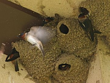 Cliff Swallows building their nests (photo by Chuck Tague)