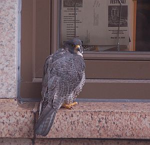 Peregrine falcon - probably Tasha - at the Oliver Building (photo by Heather Jacoby)