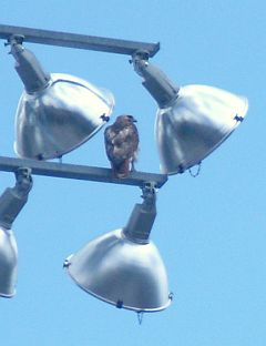 Mother Red-tailed Hawk looking for prey from a sneaky location (photo by Kate St. John)