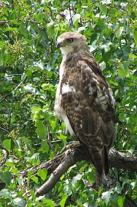 Juvenile Red-tailed Hawk at Duquesne University (photo by Jamey Stewart)