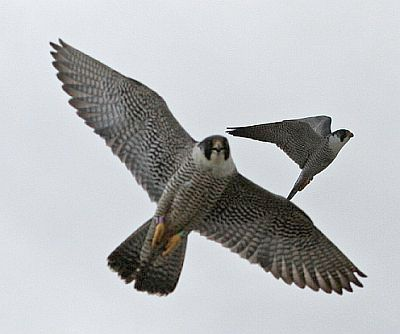 Peregrine falcons fly near their nest in Youngstown, Ohio (photo by Chad & Chris Saladin)