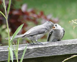 Tufted Titmouse feeding baby (photo by Marcy Cunkelman)
