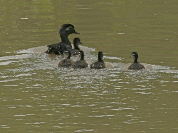 Wood duck mother and babies (photo by Chuck Tague)