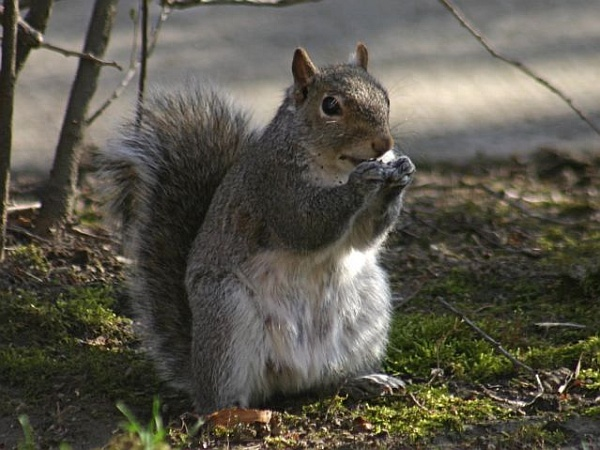 Gray squirrel (photo by Chuck Tague)