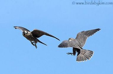 Juvenile peregrines at play (photo by Kim Steininger)