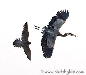 Peregrine attacks Great-Blue Heron, Wilminton, DE (photo by Kim Steininger)