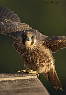 Peregrine falcon fledgling (photo by Kim Steininger)