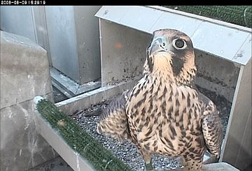 Juvenile Peregrine Falcon at University of Pittsburgh nest