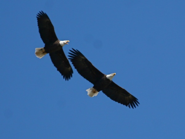Bald eagles in Butler County, PA (photo by Chuck Tague)