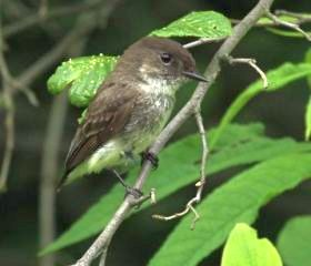 Eastern Phoebe fledgling (photo by Chuck Tague)