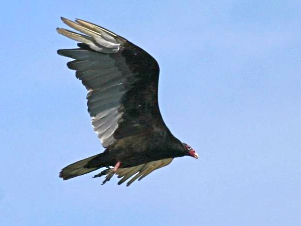 Turkey vulture in flight (photo by Chuck Tague)