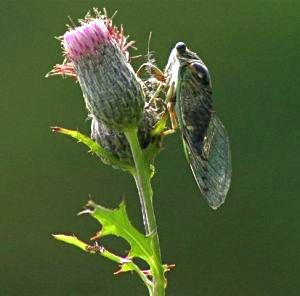 Cicada on Swamp Thistle (photo by Chuck Tague)