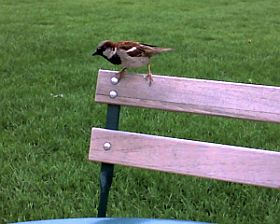 House Sparrow at Schenley Plaza (photo by Kate St. John)