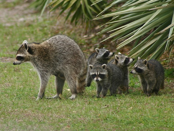 Raccoon family in Florida (photo by Chuck Tague)