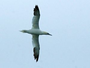 Northern Gannet (photo by Chuck Tague)
