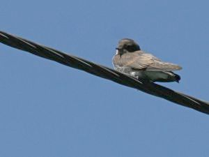 Northern Rough-winged Swallow (photo by Chuck Tague)