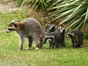 Raccoon family (photo by Chuck Tague)