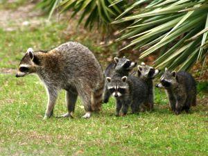 Raccoon family (photo by Chuck Tague)