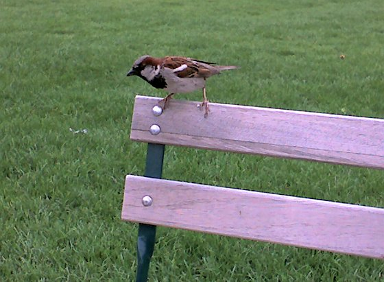 House sparrow begs at Schenley Plaza, Aug 2008 (photo by Kate St. John)