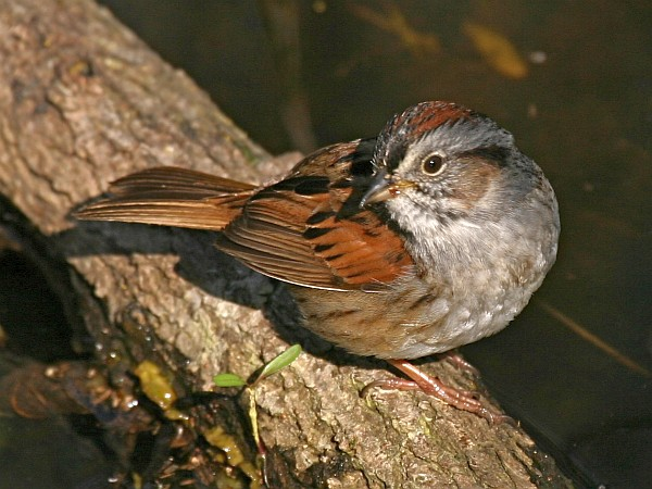 Swamp Sparrow (photo by Chuck Tague)