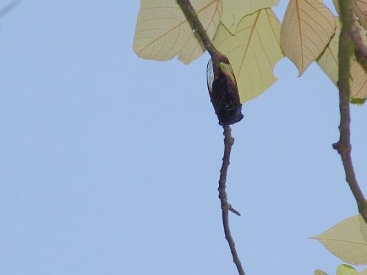 Cicada on a tree branch (photo by JohnTsui via Wikimedia Commons)