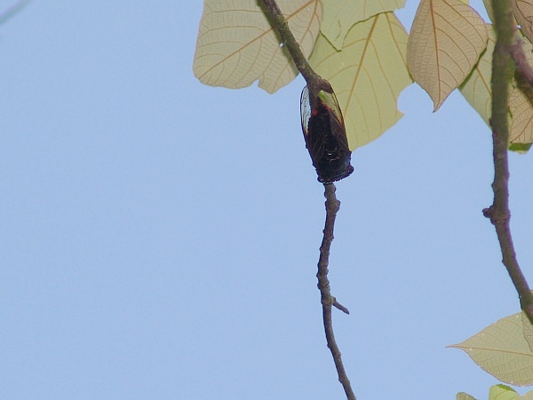 Cicada on a tree branch (photo by JohnTsui via Wikimedia Commons)