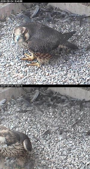 Juvenile peregrine at Univ of Pittsburgh nest, 8/4/08