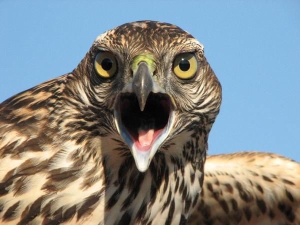 Immature northern goshawk (photo by Debbie Waters, Hawk Ridge Bird Observatory, Duluth, MN)