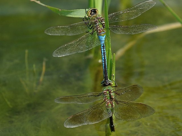 Common Green Darner dragonflies mating (photo by Chuck Tague)