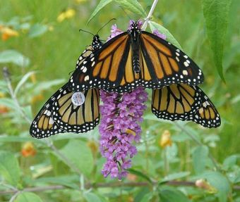 Monarch butterflies, one showing tag (photo by Marcy Cunkelman)