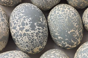 Guira Cuckoo (Guira guira), eggs 2006 © Rosamond Purcell