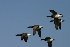Brant in flight (photo by Chuck Tague)