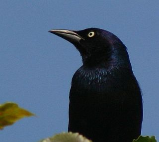 Common Grackle (photo by Chuck Tague)