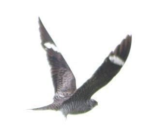 Common Nighthawk (photo by Daniel Berganza, GNU Free Documentation License)