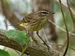 Palm Warbler, non-breeding plumage (photo by Chuck Tague)