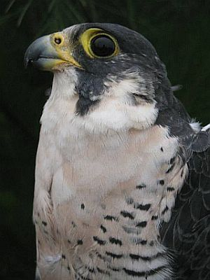 Elizabetha, long distance migrant peregrine (photo by Bud Anderson)