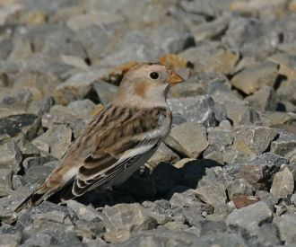 Snow bunting (photo by Chuck Tague)