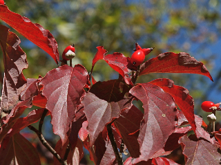 Flowering Dogwood in fall colors (photo by Chuck Tague)