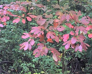 Red Sassafras leaves (photo by Kate St. John)