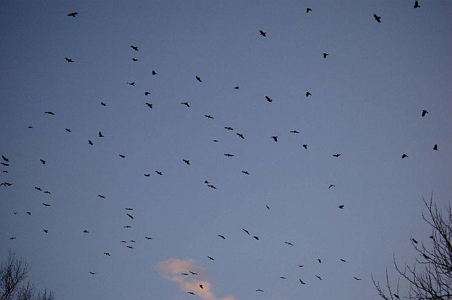 Winter Flock of American Crows (photo by Tom Merriman)
