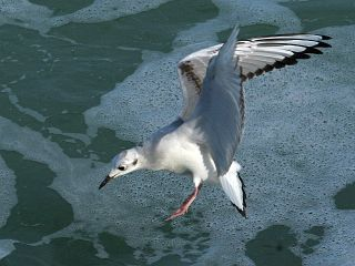 Bonaparte's Gull (photo by Chuck Tague)