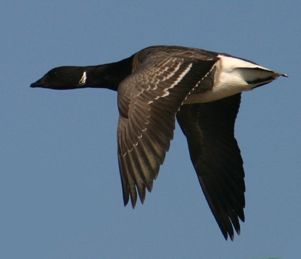 Brant (photo by Chuck Tague)