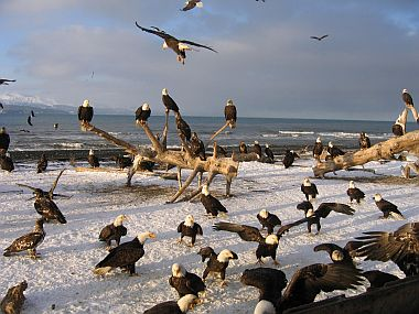Bald Eagles congregate in winter (photo from PBS Nature)