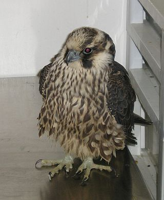 Juvenile arctic Peregrine Falcon found downtown (photo by Todd Katzner)