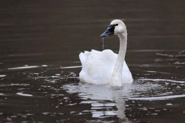 Tundra Swan (photo by Steve Gosser)