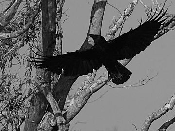 American Crow (photo by Chuck Tague)